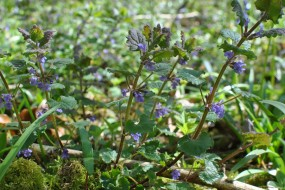 There's lots of wonderful ground ivy around the new Bushcraft camp