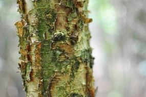 Downy birch its bark peeling back
