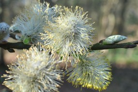 Goat Willow Blossom