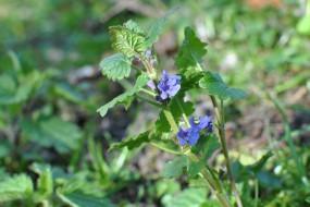 Ground ivy in flower