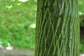Lovely shapes on this hornbeam, note the vertical flow of lines
