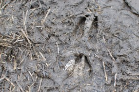 Muntjac tracks in the muddy paths showing their typical trails