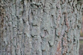 Mature oak tree bark