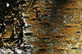 Silver birch with orange lichen