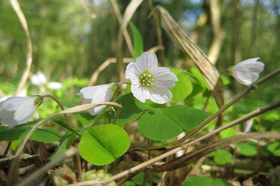 Wood sorrel, five white petals with beautiful pink veins