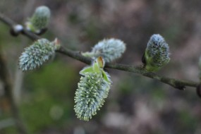 Pussy willow - fluffy buds