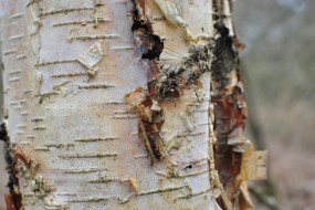 Silver birch, horizontal lines & flaky bark